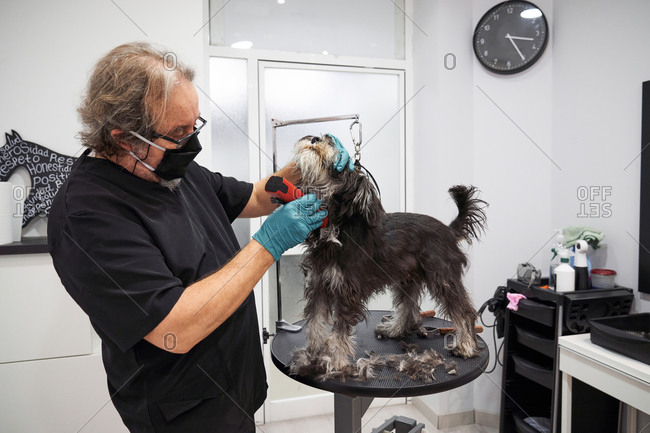 Mature male groomer in medical mask doing haircut for schnoodle while using electric tool