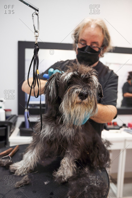 Man groomer doing haircut with scissors for cute schnoodle in modern salon