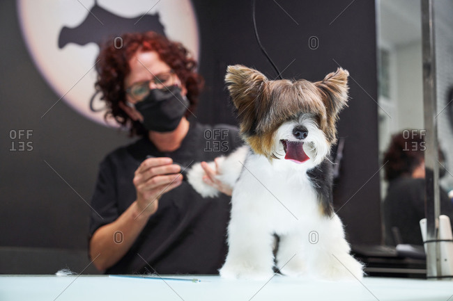 Female groomer in medical mask doing haircut for obedient Yorkshire Terrier in professional salon