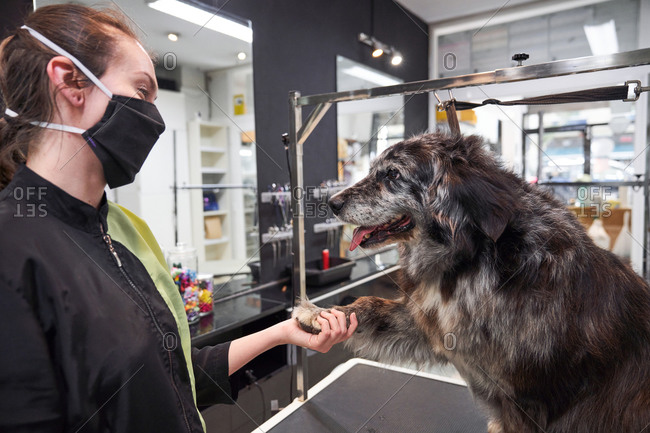 Side view of friendly dog sitting on table in grooming salon and giving paw to female master