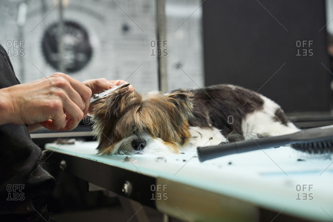 Unrecognizable female groomer doing haircut with scissors for cute Yorkshire Terrier in modern salon