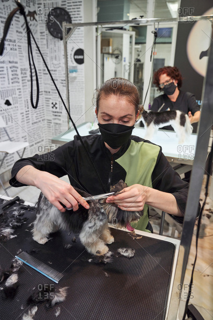 Woman groomer doing haircut with scissors for cute Yorkshire Terrier in modern salon