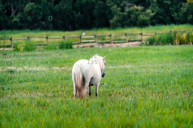 Back view of white horse pasturing in lush field in the Parc Natural dels Aiguamolls de l Emporda in Catalonia