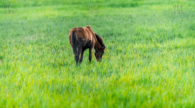Side view of baby horse pasturing on green field in the Parc Natural dels Aiguamolls de l Emporda