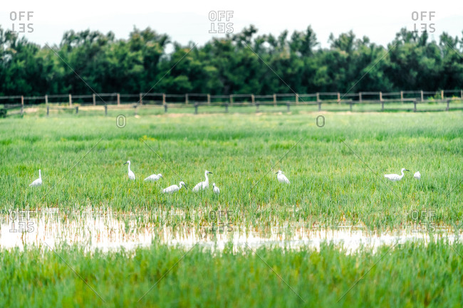 Flock of white storks standing in green grass in swampy area on cloudy day in the Parc Natural dels Aiguamolls de l Emporda