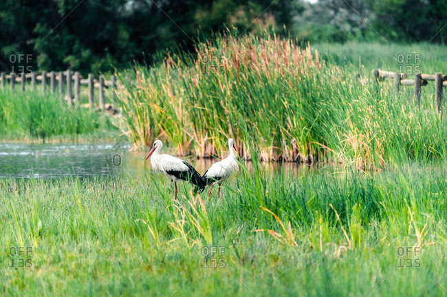 Side view of storks standing in wet grass in swampy area in the Parc Natural dels Aiguamolls de l Emporda