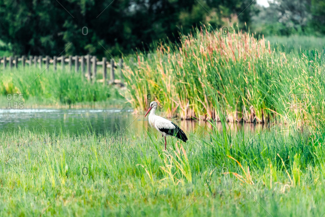 Side view of stork standing in wet grass in swampy area in the Parc Natural dels Aiguamolls de l Emporda