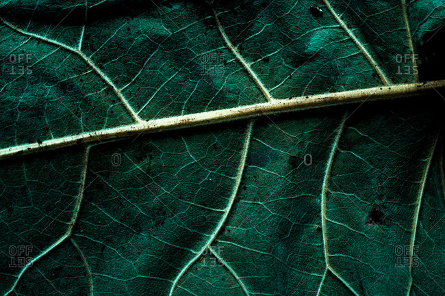 Macro background of tropical green leaf with dark texture in light curvy veins