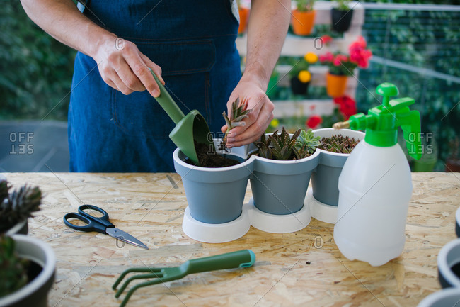 Crop anonymous male grower with soil scoop planting green seedlings into similar pots while standing near table with spray bottle and garden fork with scissors behind colorful blooming flowers