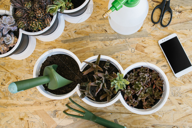 Top view of composition of different cacti in similar pots with gardening trowel and fork near modern cellphone and plastic spray bottle with scissors on wooden table