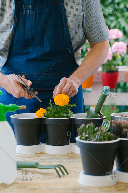 Crop anonymous male gardener using scissors while cutting leaves of bright blooming flower at table near potted cacti and gardening fork
