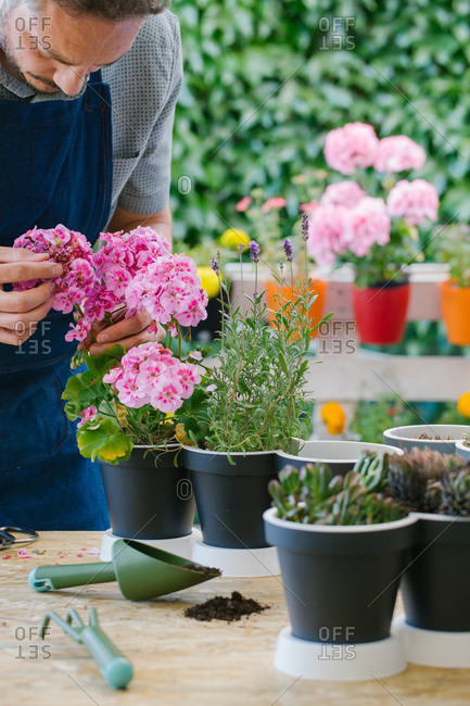 Crop anonymous male grower in apron revising potted blossoming flowers with gentle petals while standing near table with gardening tools behind lush green bushes