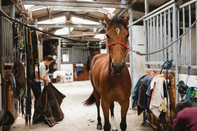 Cute chestnut horse in bridle standing in shabby barn on ranch and looking at camera