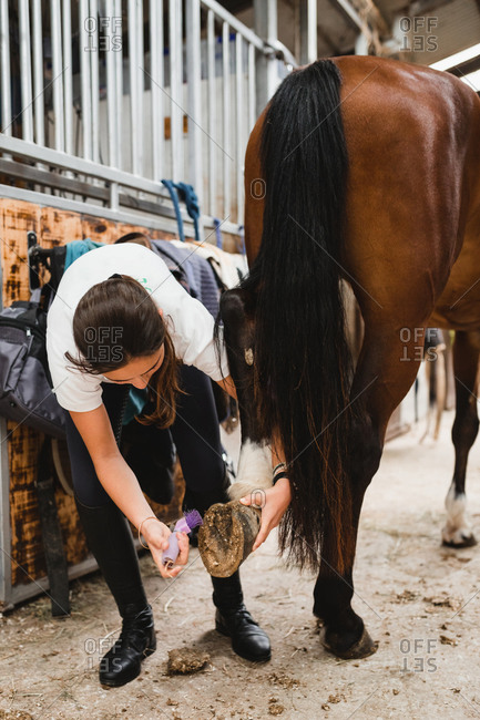 Female jockey in uniform standing in stable and taking care of horse while cleaning hoof with tool