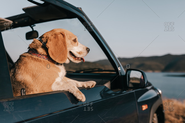 Cute brown purebred dog with tongue out contemplating lake near mountains while sitting inside automobile under serene sky in daylight during travel
