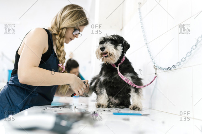 Female groomer cutting schnauzer's nails on table in pet salon