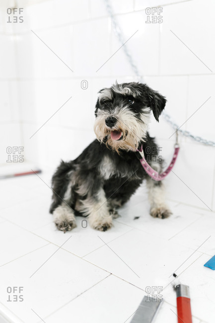 Cute schnauzer sitting on table against wall in pet salon
