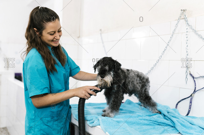 Smiling female groomer drying wet schnauzer with dryer on table in pet salon