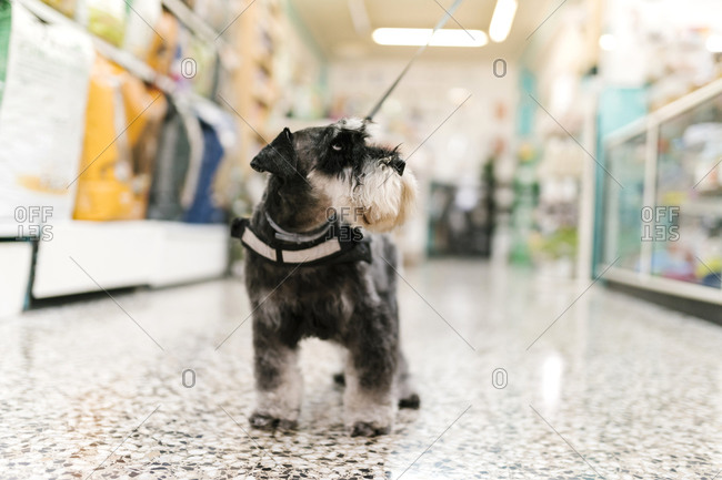 Close-up of schnauzer standing on tiled floor in pet salon