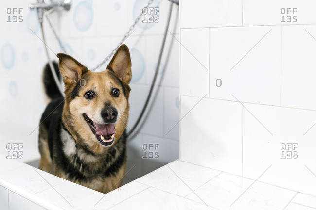 Close-up of German Shepherd standing in sink at pet salon