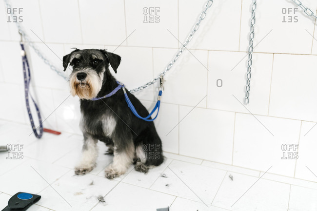 Close-up of cute schnauzer sitting on table against wall in pet shop