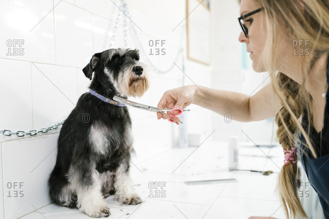Close-up of female groomer cutting schnauzer's hair sitting on table in pet salon