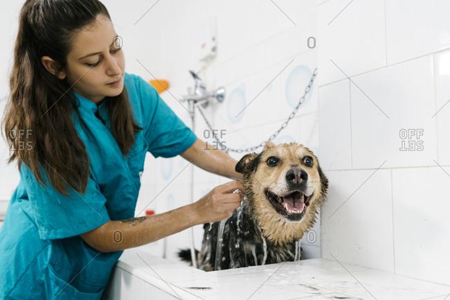 Female groomer bathing German shepherd in sink at pet salon