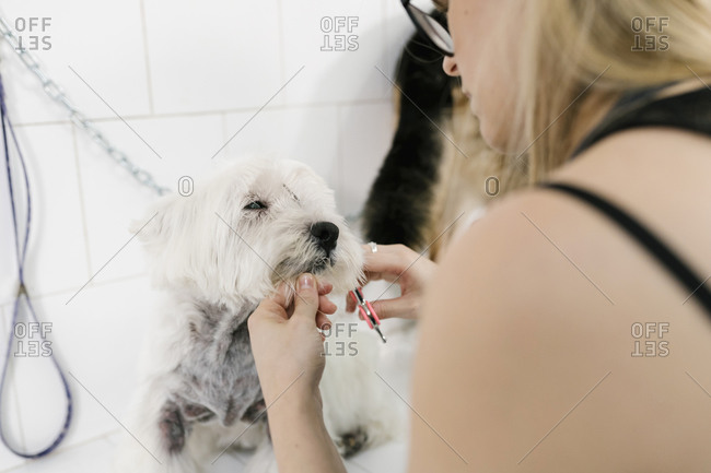 Close-up of female groomer cutting west highland white terrier's hair in pet salon