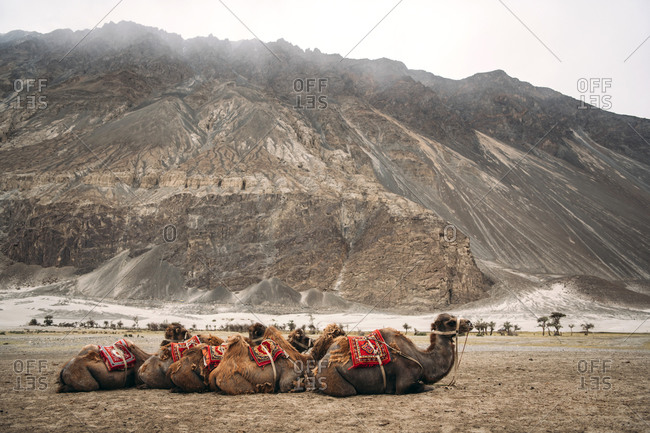India- Ladakh- Camels resting in mountain valley
