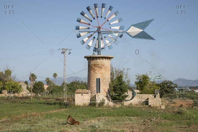 Spain-Balearic Islands-Foal relaxing on grass in front of traditional windmill