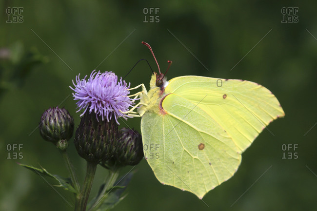 Common brimstone (Gonepteryx rhamni) perching on thistle