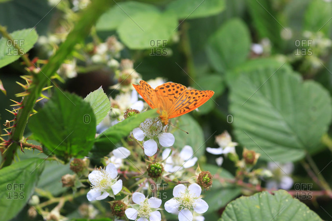 Silver-washed fritillary (Argynnis paphia) perching on blossoms