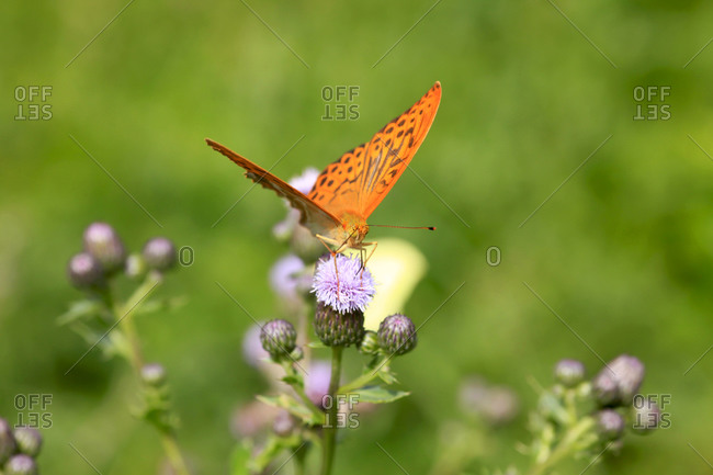 Silver-washed fritillary (Argynnis paphia) perching on thistle