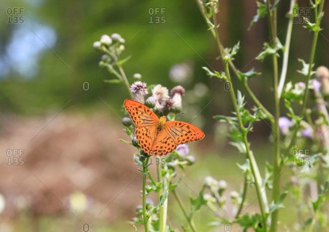 Silver-washed fritillary (Argynnis paphia) perching on plant