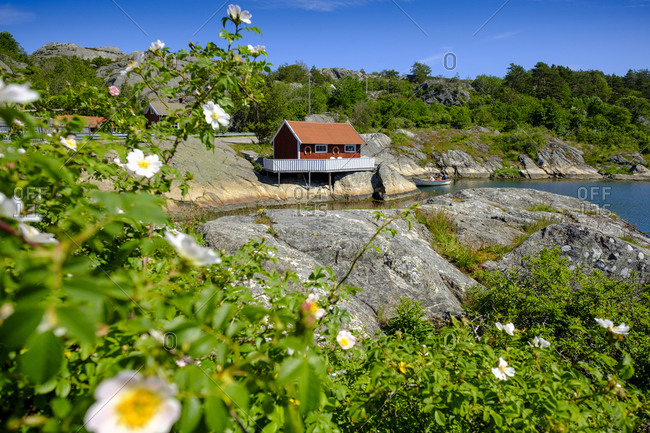 Flowering bush with small coastal house in background