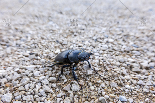Close-up of stag beetle on land