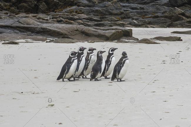 UK- Falkland Islands- Magellanic penguins (Spheniscus magellanicus) on Carcass Island beach