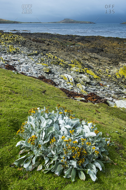UK- Falkland Islands- Sea cabbage (Senecio candicans) growing on Carcass Island