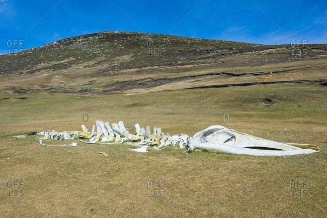 UK- Falkland Islands- Old whale skeleton lying on Carcass Island