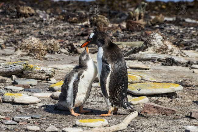 Mother and baby gentoo penguin (Pygoscelis papua) touching with beaks