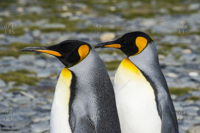 Portrait of two king penguins (Aptenodytes patagonicus) standing side by side