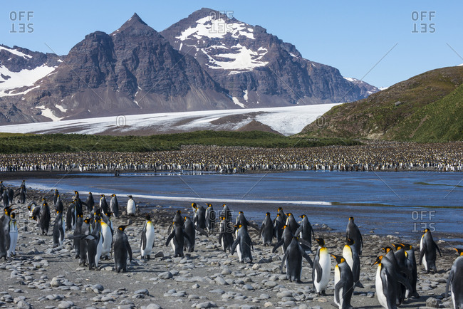 UK- South Georgia and South Sandwich Islands- King penguin (Aptenodytes patagonicus) colony on Salisbury Plain