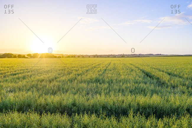 Vast green oat (Avena Sativa) field at summer sunset