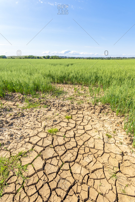 Dry cracked soil in vast summer oat field