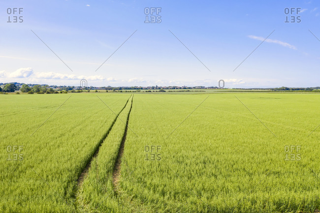 Vast green oat (Avena sativa) field in summer