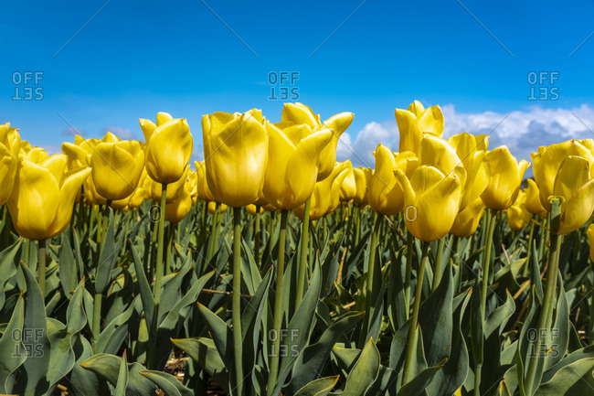 Yellow tulips blooming in springtime field