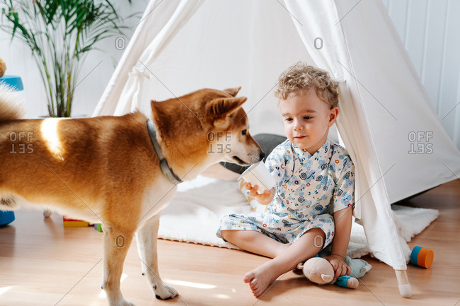 Adorable little curly haired boy sitting near tent and giving plastic cup with yogurt to curious Shiba Inu dog while playing in cozy room at home