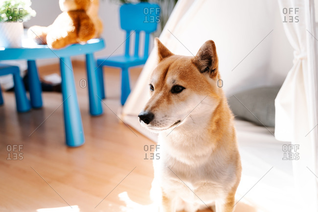 Adorable fluffy Shiba Inu dog sitting on floor near white tent in cozy nursery in modern apartment