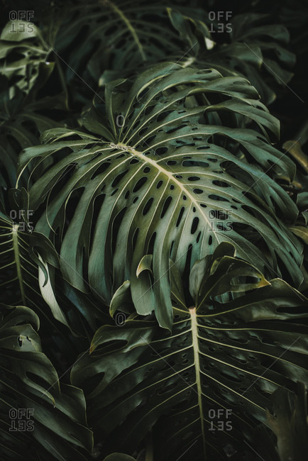 Beautiful shiny green leaves of Monstera deliciosa tree growing in tropical garden on sunny day