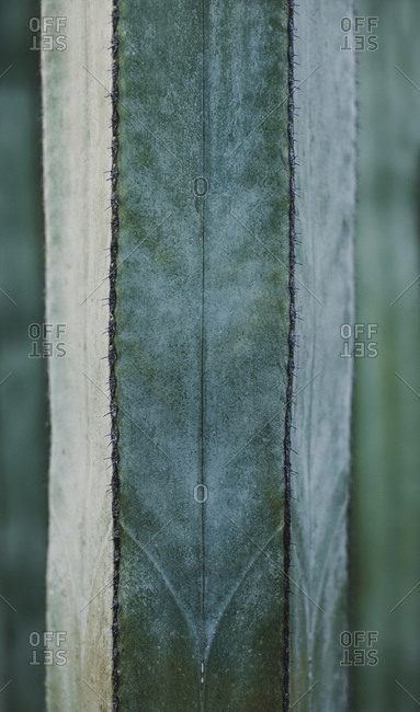 Closeup texture of green natural Cereus cactus plant with small thorns against blurred background